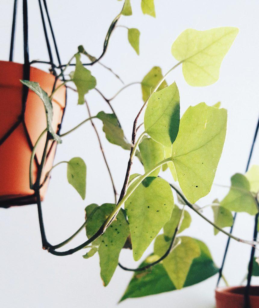 Rośliny wiszące 6