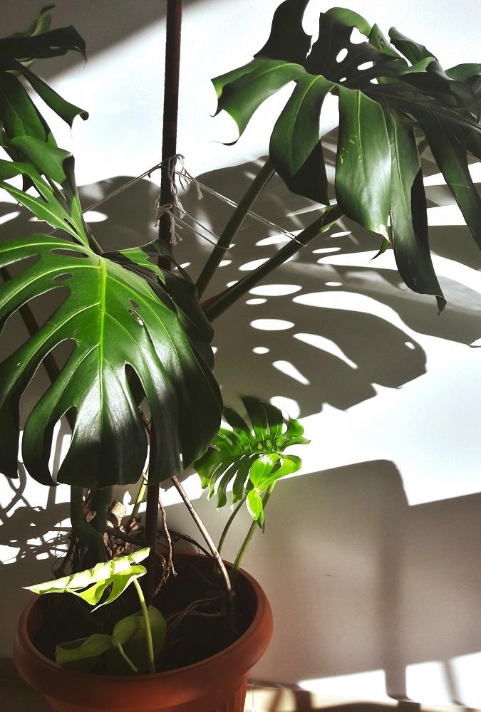 Domowa dżungla House jungle Polish jungle (6)