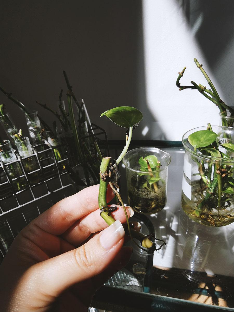 Rozmnażanie epipremnum Roślinne laboratorium (7)
